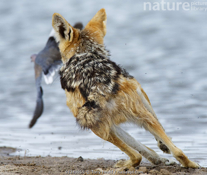 Rear view of a Black-backed jackal (Canis mesomelas) chasing a dove, Etosha National Park, Namibia, January  ,  ACTION,BEHAVIOUR,BIRDS,CANIDS,CARNIVORES,COLUMBIFORMES,DOVES,FLYING,HUNTING,JACKALS,MAMMALS,NP,PREDATION,RESERVE,RUNNING,SOUTHERN AFRICA,VERTEBRATES,WATER,National Park  ,  Tony Heald