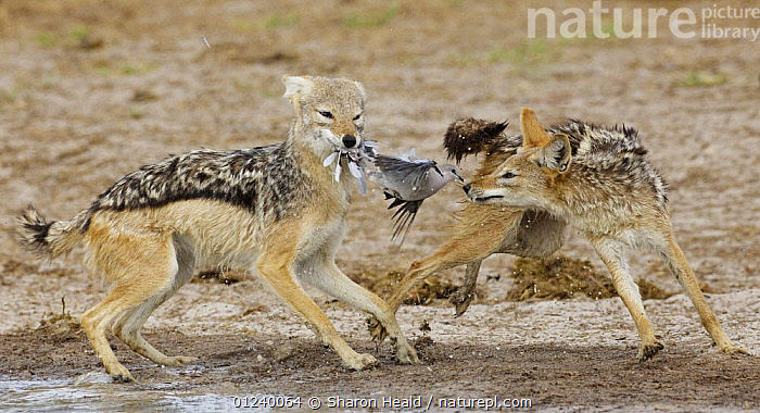 Black backed jackal (Canis mesomelas) preying on a dove, Etosha National Park, Namibia, January  ,  ACTION,BEHAVIOUR,BIRDS,CANIDS,CARNIVORES,COLUMBIFORMES,DOVES,HUNTING,JACKALS,MAMMALS,NP,PREDATION,RESERVE,SHARON HEALD,SOUTHERN AFRICA,TWO,VERTEBRATES,National Park  ,  Sharon Heald