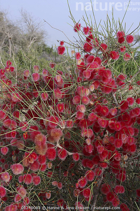 Arta (Calligonum comosum) seeds on bush, Muscat, Oman.  ,  ARABIA,ASIA,COLOURFUL,DESERTS,DICOTYLEDONS,FRUIT,MIDDLE EAST,PLANTS,POLYGONACEAE,RED,SEEDS,VERTICAL  ,  Hanne & Jens Eriksen