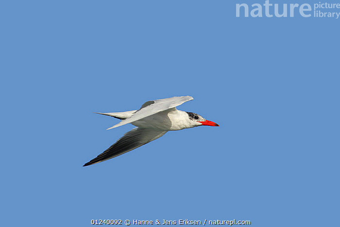 Caspian tern (Hydroprogne caspia) in flight. Khawr Ghawi, Oman.  ,  ARABIA, ASIA, BIRDS, FLYING, MIDDLE-EAST, PROFILE, SEABIRDS, TERNS, VERTEBRATES  ,  Hanne & Jens Eriksen
