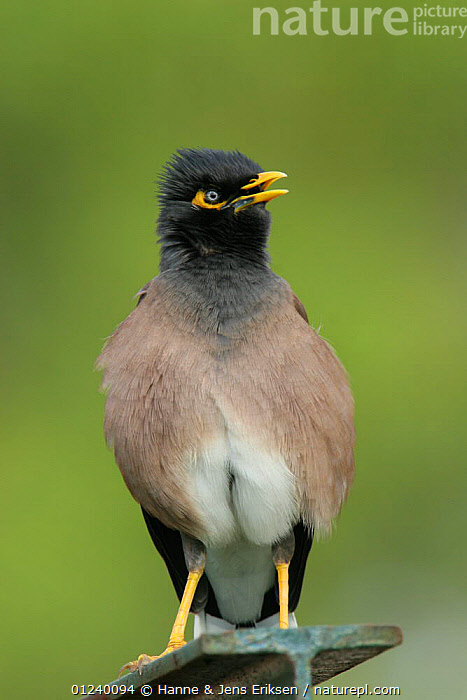 Common / Indian mynah (Acridotheres tristis). Abu Dhabi, United Arab Emirates.  ,  ARABIA,ASIA,BIRDS,MIDDLE EAST,MYNAHS,PORTRAITS,STARLINGS,UAE,VERTEBRATES,VERTICAL,VOCALISATION  ,  Hanne & Jens Eriksen