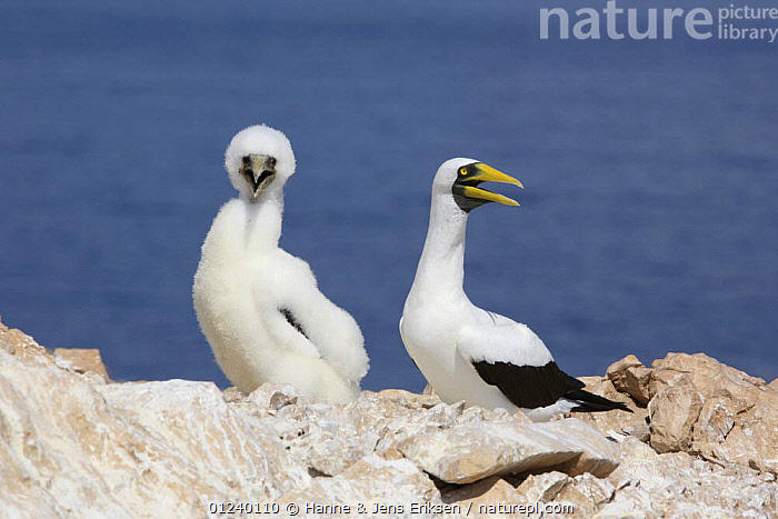 Masked booby (Sula dactylatra melanops) adult and fledgling. Daymaniyat Islands, Oman.  ,  ARABIA,ASIA,BIRDS,BOOBIES,CHICKS,COASTS,FAMILIES,JUVENILE,MIDDLE EAST,MOTHER BABY,SEABIRDS,TWO,VERTEBRATES  ,  Hanne & Jens Eriksen