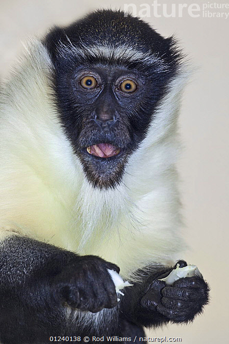 Female Roloway monkey (Cercopithecus diana roloway) captive, from Ghana and Ivory Coast, Critically Endangered Species  ,  BLACK AND WHITE,ENDANGERED,FACES,FEEDING,GUENONS,MAMMALS,MONKEYS,PRIMATES,VERTICAL  ,  Rod Williams