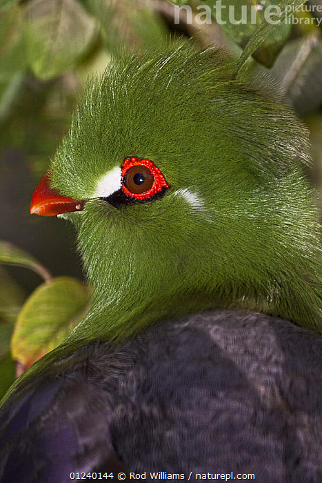 White-cheeked turaco (Tauraco leucotis) captive, from Eritrea, Ethiopia and Sudan  ,  BIRDS,EYES,GREEN,NORTH AFRICA,PORTRAITS,TURACOS,VERTEBRATES,Africa  ,  Rod Williams