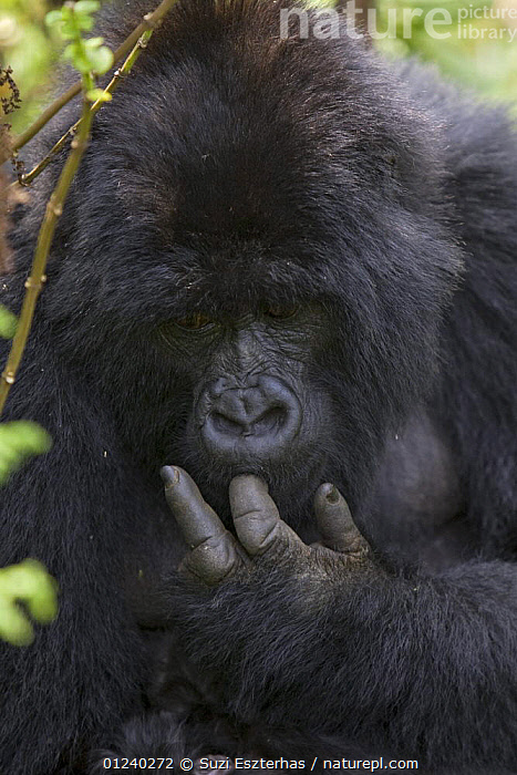 Female Mountain gorilla (Gorilla gorilla berengei) licking finger after cleaning herself, Virunga Volcanoes National Park, Rwanda  ,  BEHAVIOUR,CENTRAL AFRICA,ENDANGERED,FEMALES,GREAT APES,GROOMING,LICKING,MAMMALS,NP,PRIMATES,RESERVE,VERTEBRATES,VERTICAL,Africa,National Park  ,  Suzi Eszterhas