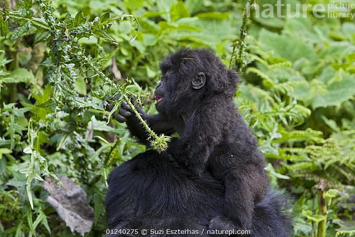 Mountain gorilla (Gorilla gorilla berengei) infant sitting on mother's head feeding on thistle flower, Virunga Volcanoes National Park, Rwanda  ,  BABIES,BEHAVIOUR,CENTRAL AFRICA,CUTE,ENDANGERED,FEEDING,GREAT APES,HEADS,MAMMALS,NP,PRIMATES,RESERVE,VERTEBRATES,Africa,National Park  ,  Suzi Eszterhas