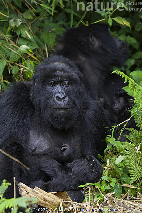 Mountain gorilla (Gorilla gorilla berengei) mother and infant, Virunga Volcanoes National Park, Rwanda  ,  CENTRAL AFRICA,ENDANGERED,FEEDING,GREAT APES,MAMMALS,MOTHER BABY,NP,PORTRAITS,PRIMATES,RESERVE,VERTEBRATES,VERTICAL,Africa,National Park  ,  Suzi Eszterhas