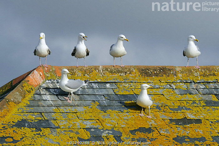 Herring gulls (Larus argentatus) perched on lichen encrusted rooftop near coast, Cornwall, UK.  ,  BIRDS,BUILDINGS,ENGLAND,EUROPE,GROUPS,GULLS,SEABIRDS,UK,VERTEBRATES, United Kingdom, United Kingdom, United Kingdom  ,  Nick Upton