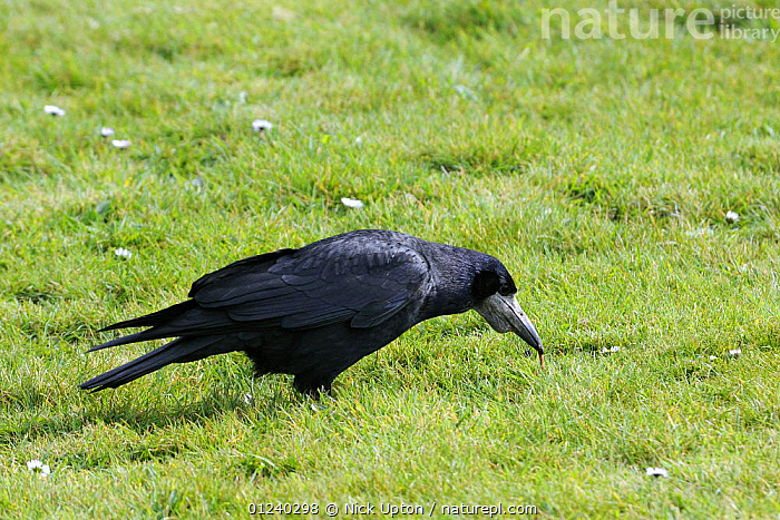 Rook(Corvus frugilegus) pulling up earthworm from lawn. Cornwall, UK.  ,  BEHAVIOUR,BIRDS,CORVIDS,CROWS,ENGLAND,EUROPE,FEEDING,FORAGING,PROFILE,UK,VERTEBRATES,WORM,WORMS, United Kingdom  ,  Nick Upton