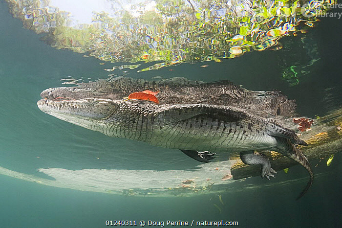 Morelet's / Mexican crocodile (Crocodylus moreletii) at surface of cenote (freshwater spring). Near Tulum, Yucatan Peninsula, Mexico. Endangered  ,  CENTRAL AMERICA,CROCODILES,CROCODILIANS,ENDANGERED,FRESHWATER,LOW ANGLE SHOT,MEXICO,REFLECTIONS,REPTILES,SURFACE,TROPICAL,UNDERWATER,VERTEBRATES,CENTRAL-AMERICA  ,  Doug Perrine