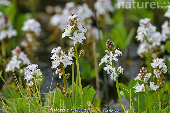 Buckbean / Bogbean (Menyanthes trifoliata) in pond, Belgium.  ,  AQUATIC,BELGIUM,DICOTYLEDONS,EUROPE,FLOWERS,MENYANTHACEAE,PLANTS,PONDS,WATER  ,  Philippe Clement