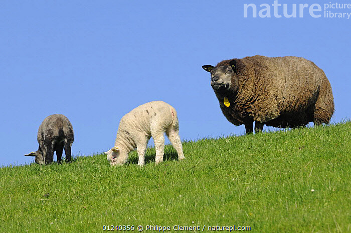 Domestic sheep (Ovis aries) ewe with two lambs, one white and one black, Texel, the Netherlands  ,  BABIES,COLOUR DIMORPHISM,EUROPE,FAMILIES,GRAZING,HOLLAND,LAMB,LIVESTOCK,MAMMALS,VERTEBRATES  ,  Philippe Clement