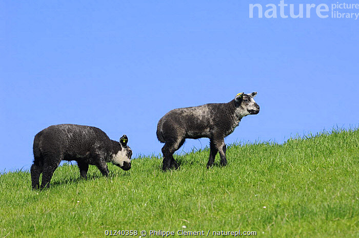 Two black domestic Texel sheep (Ovis aries) lambs, the Netherlands  ,  BABIES,COLOUR,EUROPE,GRAZING,HOLLAND,LAMB,LIVESTOCK,MAMMALS,SHEEP,VERTEBRATES  ,  Philippe Clement