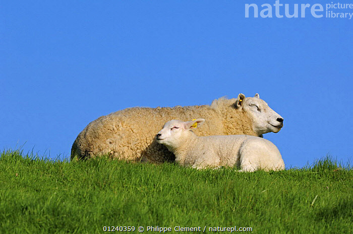 Domestic Texel sheep (Ovis aries) ewe with lamb resting in meadow, the Netherlands  ,  CUTE,EUROPE,FAMILIES,HOLLAND,LAMBS,LIVESTOCK,LOW ANGLE SHOT,MAMMALS,MOTHER BABY,VERTEBRATES  ,  Philippe Clement