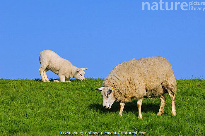Domestic Texel sheep (Ovis aries) ewe and lamb grazing in meadow, the Netherlands  ,  EUROPE,FAMILIES,FEEDING,HOLLAND,KNEELING,LIVESTOCK,MAMMALS,MOTHER BABY,SHEEP,VERTEBRATES  ,  Philippe Clement