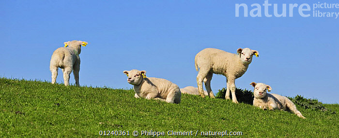 Domestic Texel sheep (Ovis aries) group of lambs, the Netherlands  ,  BABIES,EUROPE,FOUR,GROUPS,HOLLAND,LAMB,LIVESTOCK,MAMMALS,PANORAMIC,SHEEP,VERTEBRATES  ,  Philippe Clement