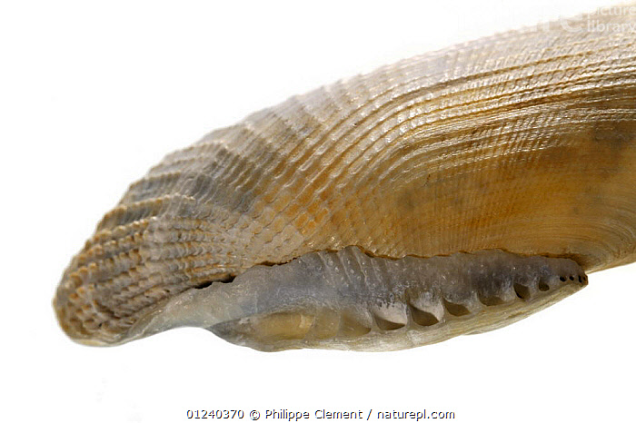 Common piddock (Pholas dactylus) close up of shell showing the rolled-out hinge area, Normandy, France  ,  BELGIUM,BIVALVES,CLAMS,CLOSE UPS,CUTOUT,EUROPE,INVERTEBRATES,MARINE,MOLLUSCS,NORTH SEA,SEASHELLS,SHELLS,TEMPERATE  ,  Philippe Clement