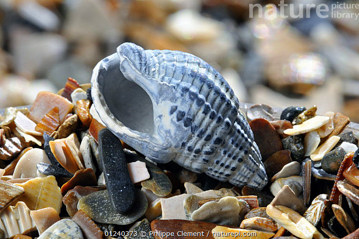 Fossil of the Netted dog whelk (Nassarius / Hinia reticulata) on beach, Belgium  ,  COASTS,EUROPE,FOSSILS,GASTROPODS,INVERTEBRATES,MOLLUSCS,NORTH SEA,SEASHELLS,SHELL,SHELLS,TEMPERATE  ,  Philippe Clement