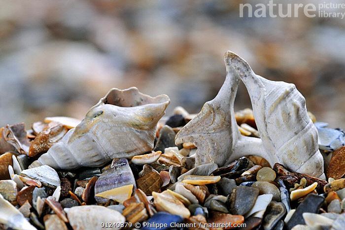 Pelican's foot (Aporrhais pespelecani) shells on beach, Belgium  ,  BELGIUM, COASTS, EUROPE, GASTROPODS, INVERTEBRATES, MARINE, MOLLUSCS, north-sea, PESPELECANI, SEASHELLS, Shell, SNAILS, TEMPERATE  ,  Philippe Clement