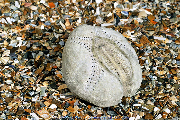 Sea potato / Heart urchin (Echinocardium cordatum) shell on beach, Belgium  ,  COASTS,ECHINODERMS,ECHINOIDEA,EUROPE,INVERTEBRATES,MARINE,NORTH SEA,SEASHELLS,SEA URCHINS,SHELLS,TEMPERATE  ,  Philippe Clement