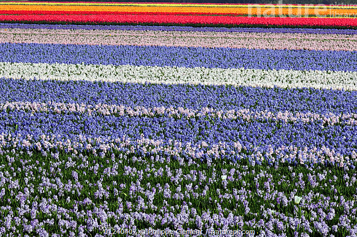 Field with rows of colourful cultivated Hyacinth flowers, the Netherlands, April 2009  ,  BULB FIELDS,COLOURFUL,CROPS,CULTIVATED,EUROPE,FLOWERS,HOLLAND,HYACINTHS,LANDSCAPES,PLANTS,SPRING  ,  Philippe Clement