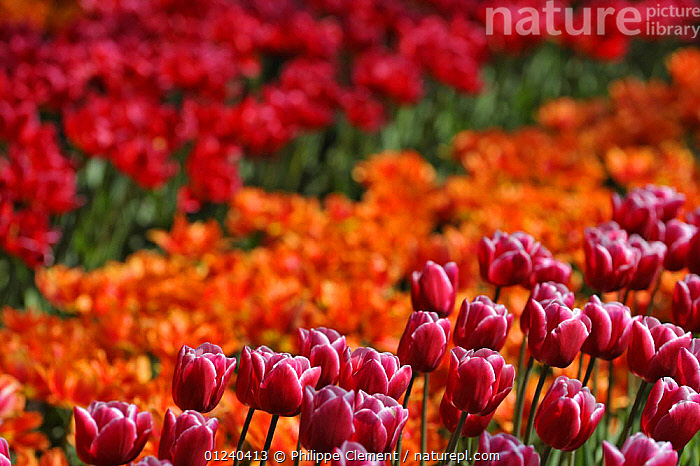 Colourful tulips (Tulipa sp) in flower garden of Keukenhof, the Netherlands, April 2009  ,  ARTY SHOTS,BULBS,COLOURFUL,CULTIVATED,EUROPE,FLOWERS,GARDENS,HOLLAND,PLANTS,RED,SPRING  ,  Philippe Clement