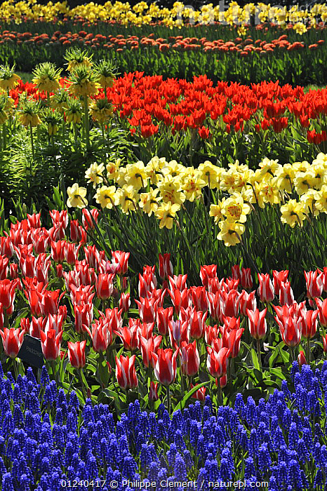 Flowerbed with colourful Tulips, Hyacinths and Daffodils in flower garden of Keukenhof, the Netherlands, April 2009  ,  BULBS,COLOURFUL,CULTIVATED,EUROPE,FLOWERS,GARDENS,HOLLAND,LANDSCAPES,MIXED SPECIES,PLANTS,SPRING,VERTICAL  ,  Philippe Clement