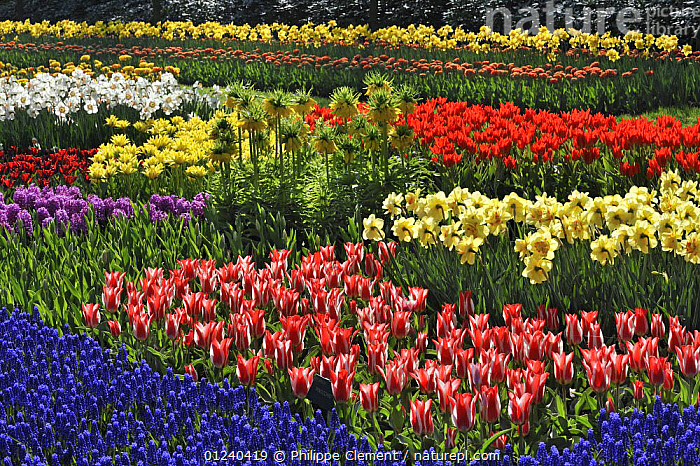 Flowerbed with colourful Tulips, Hyacinths and Daffodils in flower garden of Keukenhof, the Netherlands, April 2009  ,  BULBS,COLOURFUL,CULTIVATED,EUROPE,FLOWERS,GARDENS,HOLLAND,LANDSCAPES,MIXED SPECIES,PLANTS,SPRING  ,  Philippe Clement