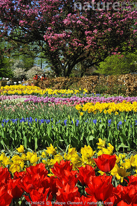 Colourful Tulips (Tulipa sp) and Japanese cherry (Prunus serrulata) blossom in flower garden of Keukenhof, the Netherlands, April 2009  ,  BULBS,COLOURFUL,CULTIVATED,EUROPE,FLOWERS,GARDENS,HOLLAND,LANDSCAPES,PLANTS,RED,SPRING,VERTICAL,YELLOW  ,  Philippe Clement