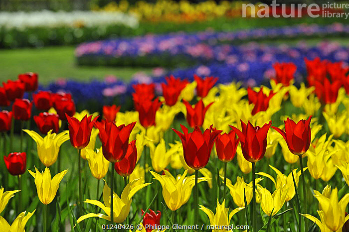 Colourful tulips (Tulipa sp) in flower garden of Keukenhof, the Netherlands, April 2009  ,  ARTY SHOTS,BULBS,COLOURFUL,CULTIVATED,EUROPE,FLOWERS,GARDENS,HOLLAND,LANDSCAPES,PLANTS,RED,SPRING,YELLOW  ,  Philippe Clement