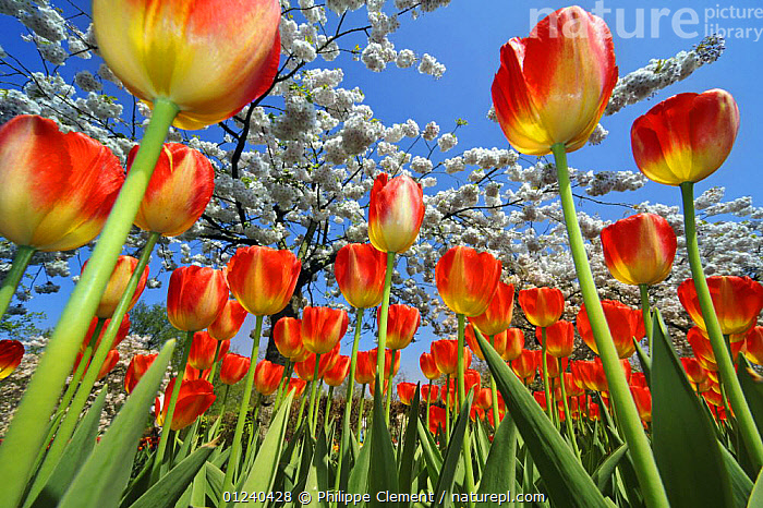 Colourful tulips (Tulipa sp.) and Japanese cherry tree (Prunus serrulata) blossom in flower garden of Keukenhof, the Netherlands, April 2009  ,  ARTY SHOTS,BULBS,COLOURFUL,EUROPE,FLOWERS,GARDENS,HOLLAND,LANDSCAPES,LOW ANGLE SHOT,PLANTS,RED,SPRING,Catalogue1  ,  Philippe Clement
