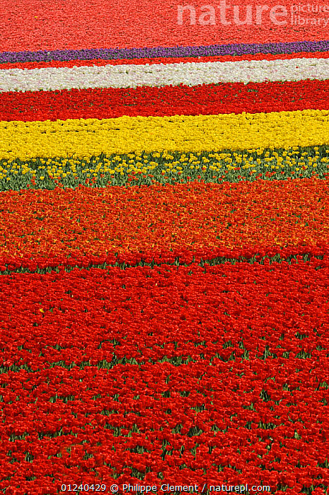 Rows of colourful cultivated tulips (Tulipa sp) in bulb field, the Netherlands, April 2009  ,  ARTY SHOTS,BULBS,COLOURFUL,CROPS,EUROPE,FLOWERS,HOLLAND,LANDSCAPES,PLANTS,SPRING,VERTICAL  ,  Philippe Clement