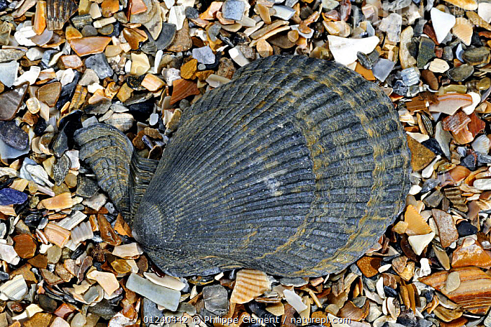 Variegated scallop (Chlamys / Mimachlamys varia) on beach, Belgium  ,  BIVALVES, COASTS, EUROPE, INVERTEBRATES, MARINE, MOLLUSCS, north-sea, SCALLOPS, SEASHELLS, Shell, shells, TEMPERATE  ,  Philippe Clement