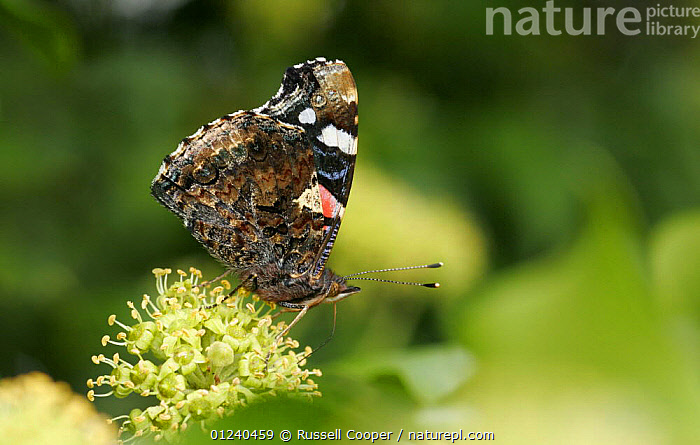 Red admiral butterfly (Vanessa atalanta) feeding from Ivy flowers in autumn, UK  ,  ARTHROPODS,BEHAVIOUR,BUTTERFLIES,EUROPE,FEEDING,FLOWERS,INSECTS,INVERTEBRATES,IVY,LEPIDOPTERA,UK, United Kingdom  ,  Russell Cooper