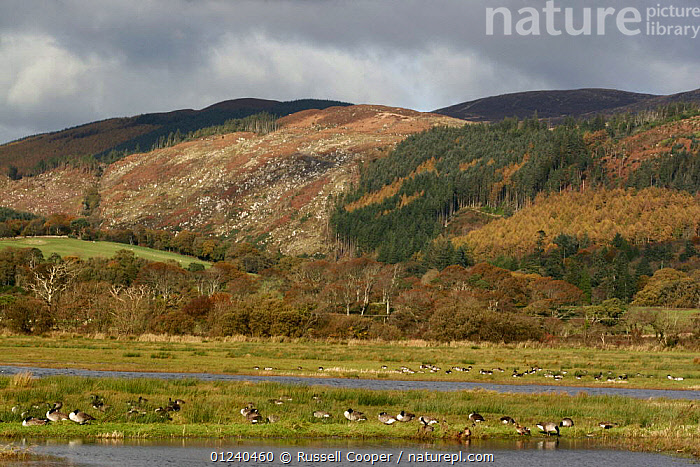 RSPB Mersehead Nature Reserve, Dumfries, Scotland, UK  ,  BIRDS,EUROPE,FORESTS,GEESE,LANDSCAPES,RESERVE,UK,WATER, United Kingdom  ,  Russell Cooper