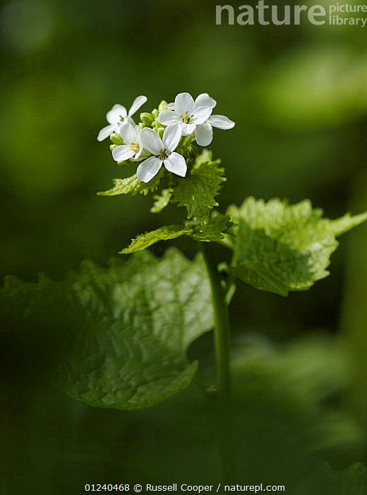Garlic mustard / Jack by the Hedge (Alliaria petiolata) in flower, Morden, South London, UK  ,  BRASSICA,BRASSICACEAE,DICOTYLEDONS,EUROPE,FLOWERS,PLANTS,UK,VERTICAL,WHITE, United Kingdom  ,  Russell Cooper