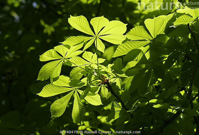 Horse chestnut tree (Aesculus hippocastanum) leaves in springtime, South London, UK  ,  DICOTYLEDONS,EUROPE,HIPPOCASTANACEAE,LEAVES,PLANTS,UK, United Kingdom  ,  Russell Cooper