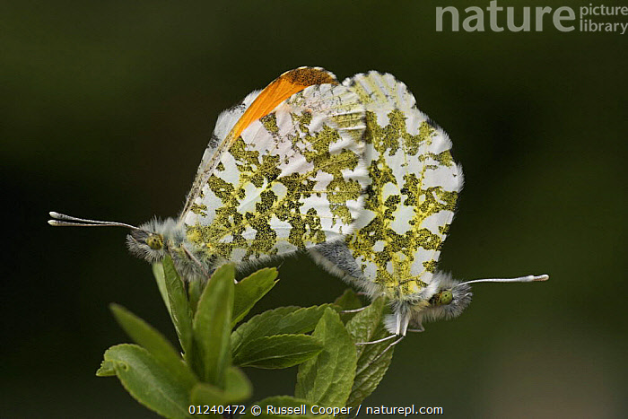 Orange tip butterflies (Anthocharis cardamines) mating, South London, UK  ,  ARTHROPODS,BEHAVIOUR,BUTTERFLIES,COPULATION,EUROPE,INSECTS,INVERTEBRATES,LEPIDOPTERA,MALE FEMALE PAIR,UK,Reproduction, United Kingdom  ,  Russell Cooper