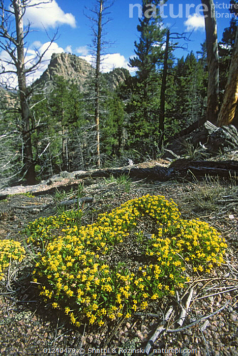 Colorado aletes (Aletes humilis) growing in the Laramie foothills, Colorado, USA  ,  APIACEAE,DICOTYLEDONS,FLOWERS,FORESTS,MOUNTAINS,NORTH AMERICA,PLANTS,ROCKY MOUNTAINS,TREES,USA,VERTICAL,YELLOW  ,  Shattil & Rozinski