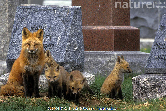 Mother Red fox (Vulpes vulpes) with four cubs near den in a cemetery, Denver, Colorado, USA  ,  CANIDS,CARNIVORES,CUBS,FAMILIES,FEMALES,FOXES,GRAVES,GRAVETONES,MAMMALS,NORTH AMERICA,URBAN,USA,VERTEBRATES  ,  Shattil & Rozinski