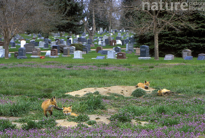 Four Red fox (Vulpes vulpes) cubs outside den near cemetery in Denver, Colorado, USA  ,  BABIES,CANIDS,CARNIVORES,CUBS,FOUR,FOXES,GRAVES,MAMMALS,NORTH AMERICA,URBAN,USA,VERTEBRATES  ,  Shattil & Rozinski