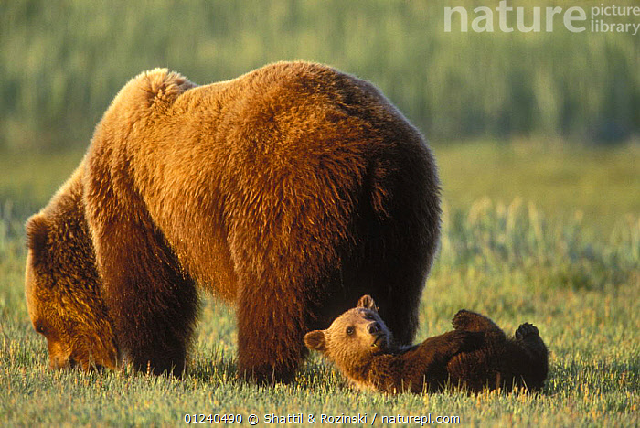 Brown bear (Ursus arctos) mother grazing while cub rolls on the ground, Alaska, USA  ,  BABIES,BEARS,BEHAVIOUR,BOTTOMS,CARNIVORES,CUBS,CUTE,FEEDING,MAMMALS,MOTHER BABY,NORTH AMERICA,ROLLING,USA,VERTEBRATES  ,  Shattil & Rozinski