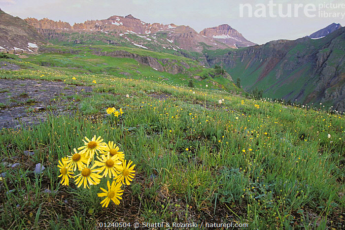 Alpine sunflowers {Rydbergia sp} Governor Basin, San Juan Mountains, Colorado, USA  ,  ALPINE,FLOWERS,LANDSCAPES,MOUNTAINS,NORTH AMERICA,TUNDRA,USA,YELLOW  ,  Shattil & Rozinski