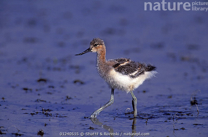 American avocet {Recurvirostra americana} chick, Denver, Colorado, USA  ,  AVOCETS,BABIES,BIRDS,CHICKS,CUTE,USA,VERTEBRATES,WADERS,WADING,WALKING,WATER,North America  ,  Shattil & Rozinski