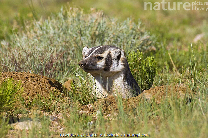 American badger (Taxidea taxus) looking out of hole that it has been digging, Wyoming, USA  ,  BADGERS,CARNIVORES,CUTE,HEADS,MAMMALS,MUSTELIDS,NORTH AMERICA,PORTRAITS,PRAIRIE,SETTS,USA,VERTEBRATES,Grassland  ,  Shattil & Rozinski