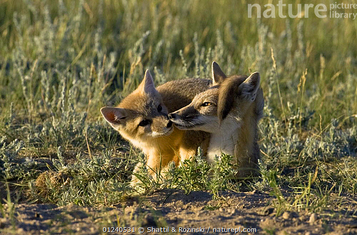 Swift fox (Vulpes velox) mother and cub playing, prairie grasslands, Southern Wyoming, USA  ,  BEHAVIOUR,CANIDS,CARNIVORES,CUTE,FOXES,GRASSLAND,MAMMALS,MOTHER BABY,NORTH AMERICA,NOSES,PLAY,USA,VERTEBRATES,Communication  ,  Shattil & Rozinski