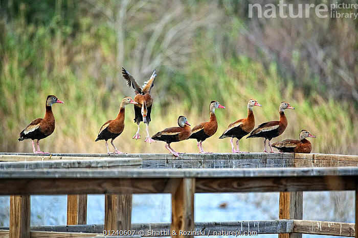 Black-bellied whistling ducks (Dendrocygna autumnalis) on wooden railing, Nature Conservancy's Southmost Preserve, Lower Rio Grande Valley, USA  ,  BIRDS,EIGHT,FLYING,GROUPS,LANDING,NORTH AMERICA,USA,VERTEBRATES,WATERFOWL,WHISTLING DUCKS  ,  Shattil & Rozinski