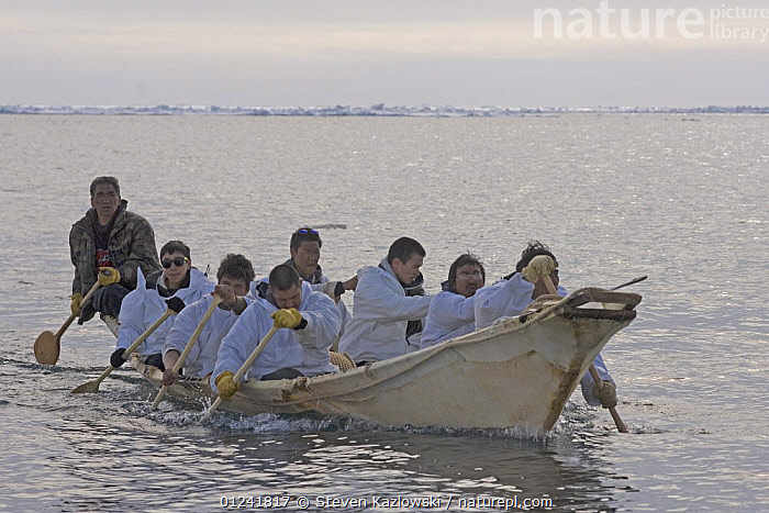 An Inupiaq whaling crew paddle their seal skin boat / umiak, in an open lead in the Chukchi Sea, during spring whaling season, off the Arctic coastal village of Point Hope, Alaska, May 2008  ,  ARCTIC,BOATS,COASTS,GROUPS,HUNTING,INUIT,INUPIAT,NORTH AMERICA,PEOPLE,TRADITIONAL,WHALING,USA  ,  Steven Kazlowski