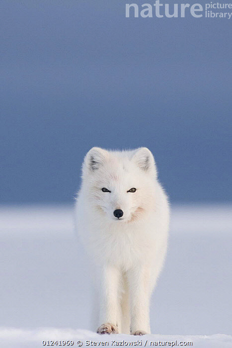 Arctic fox (Vulpes / Alopex lagopus) red faced from feeding on a whale carcass, 1002 area of the Arctic National Wildlife Refuge, Alaska, October 2008, ARCTIC,CANIDS,CARNIVORES,FOXES,MAMMALS,NORTH AMERICA,PORTRAITS,RESERVE,SNOW,USA,VERTEBRATES,VERTICAL,Dogs,Catalogue1, Steven Kazlowski