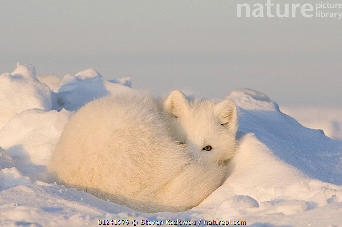 An adult Arctic fox (Vulpes / Alopex lagopus) resting on a snow drift, early autumn, 1002 area of the Arctic National Wildlife Refuge, Arctic coast, Alaska, October 2008, ARCTIC,CAMOUFLAGE,CANIDS,CARNIVORES,FOXES,MAMMALS,NORTH AMERICA,RESERVE,RESTING,SNOW,USA,VERTEBRATES, Steven Kazlowski